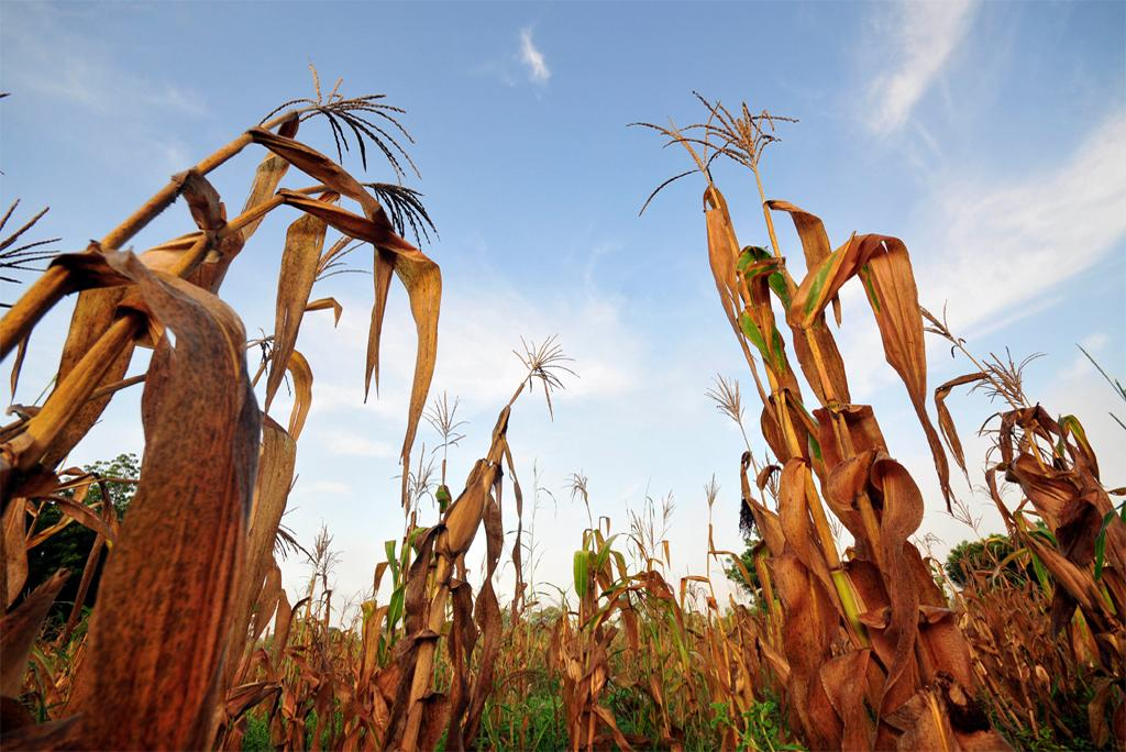 Heat wave can cause 10 times more damage to crops