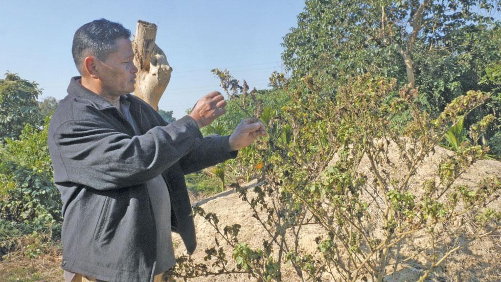 नागालैंड के वोखा जिले के रुचान गांव में गर्मी और बारिश न होने की वजह से फसलों में कीड़े लग गए
