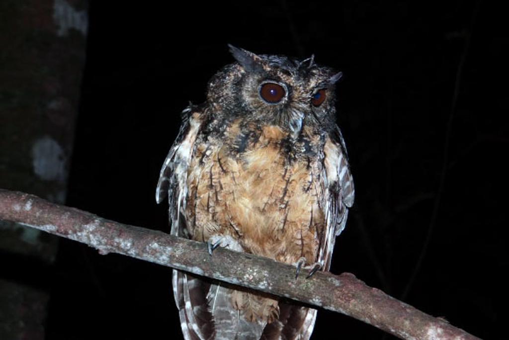 ब्राज़ील के जंगलों में मिली उल्लू की नई प्रजाति जिंगू स्क्रीच उल्लू (मेगास्कॉप्स स्टेनजिया), फोटो: क्लेटन सिल्वा