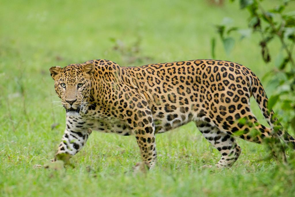 At least 22 leopards poached in Odisha in a year: Official data. Photo: Wikimedia Commons