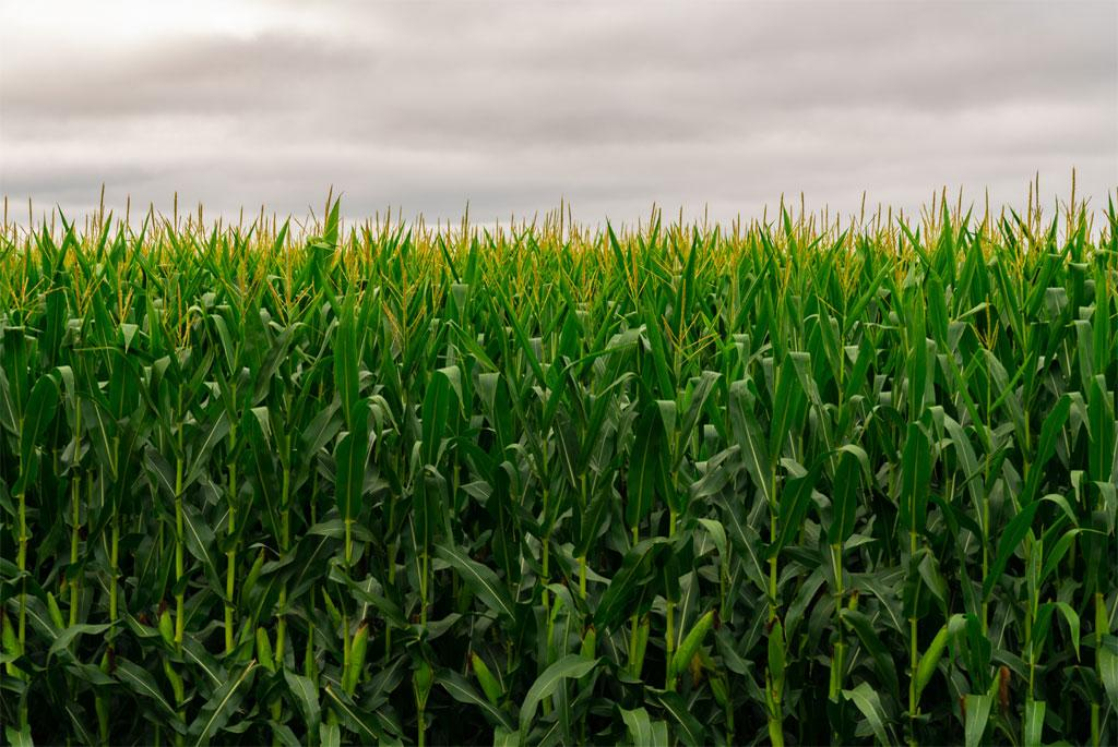 Ozone pollution damages maize crops: study