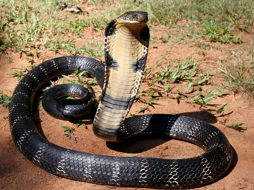 Increase in the number of king cobras spotted in human settlements in Odisha. Photo: Wikimedia Commons