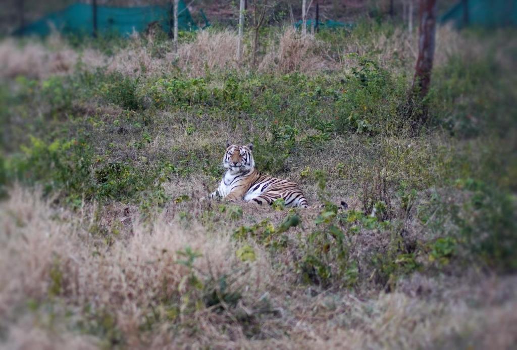 Tigress Sundari inside the enclosure in Satkosia Tiger Reserve in Odisha's Angul district. Photo: Ashis Senapati