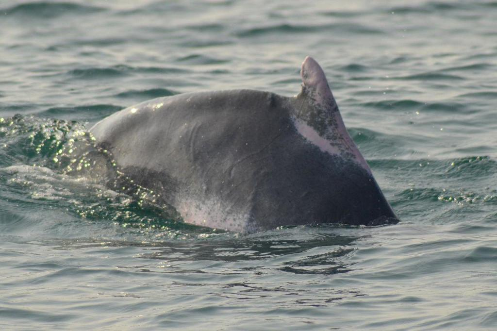 Forest officials sighted 544 dolphins this year so far; they spotted 233 dolphins in 2020. Photo: Ashis Senapati
