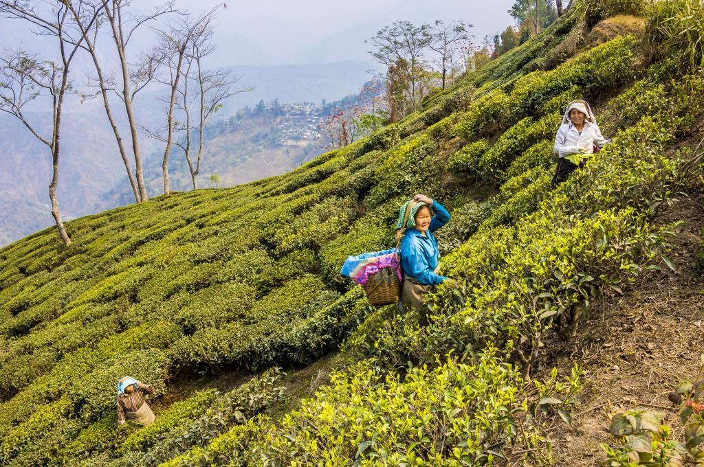 Why tea plantation workers in Bengal feel let down by political parties. Photo: iStock