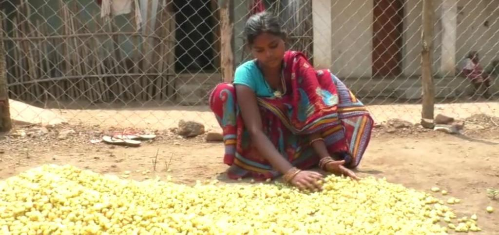 A tribal woman collects mahua flowers in Kandhamal district. Photo: Hrusikesh Mohanty