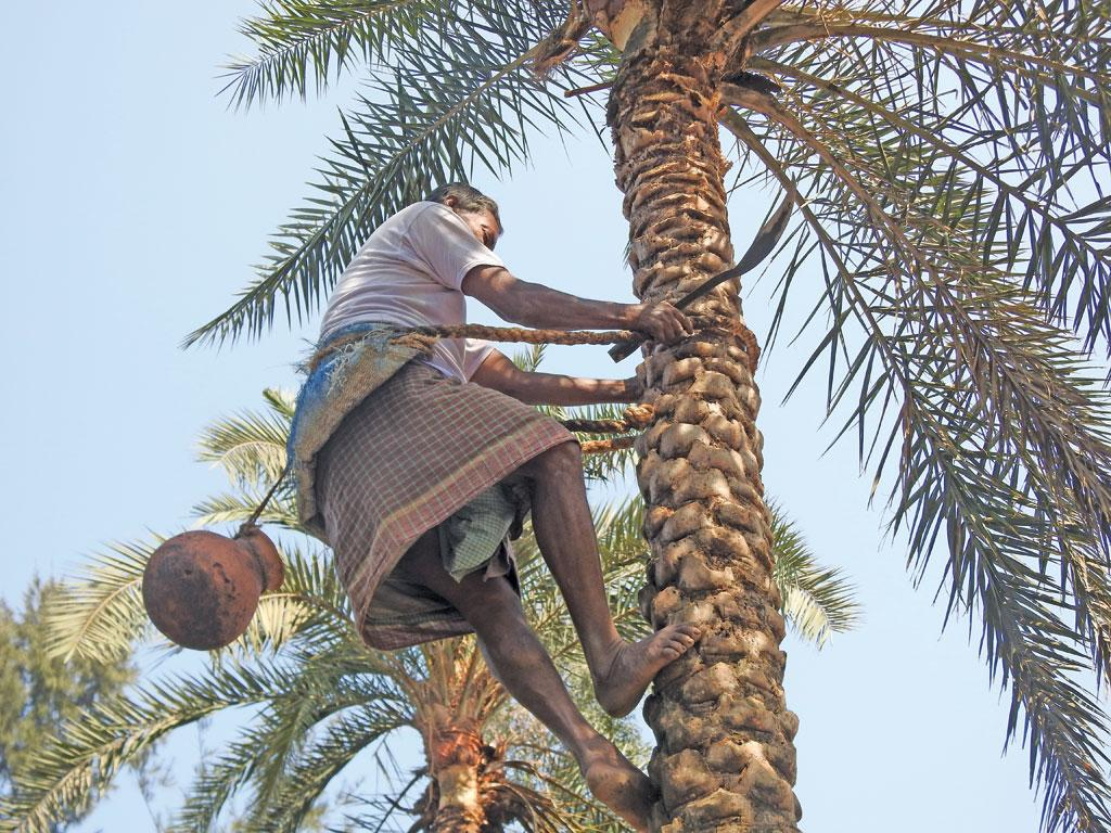 Ratan Naskar, who has worked as a siuli (sap collector) for five decades,marks cuts on a date palm tree to set up a collection pot. The cuts are marked during the days and the sap collected in the pots is removed from the tree before dawn because the sunlight might ferment it
