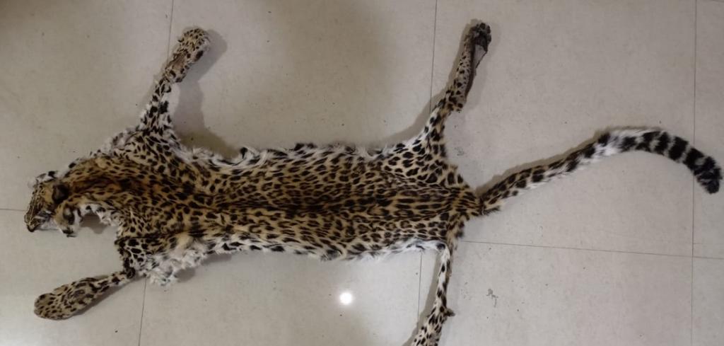 The leopard skin seized by authorities in Odisha. Photo: Odisha Police