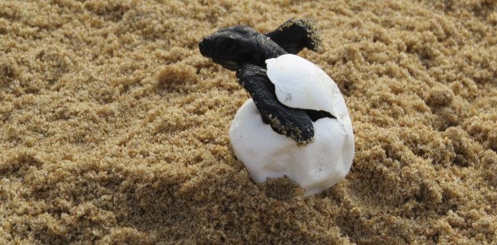 A turtle hatchling emerges from its shell on Gahirmatha. Some 349,694 turtles laid eggs from March 9-23 at both islands. A female turtle lays around 80-100 eggs, according to Bikash Ranjan Dash, the divisional forest officer of the park. Photo: Ashis Senapati