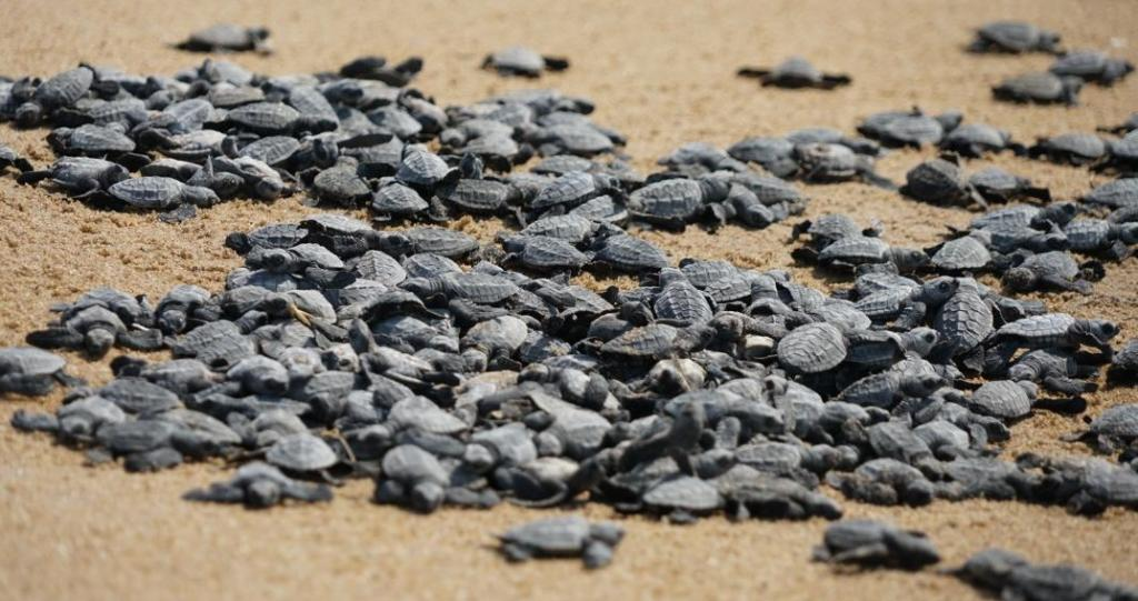 Hatchlings moving towards the sea at Gahirmatha. Effluents released from intensive and semi-intensive prawn farms, fertiliser plants and other industries along the coast are affecting the micro-fauna of the coastal region and subsequently the food chain of the sea turtles including the babies. The decrease in coastal mangrove forests has also had an adverse impact on the feeding and breeding pattern of the baby and adult turtles, according to Hemant Rout, the secretary of Gahiramatha Marine Turtles and Mangrove Conservation Society. Photo: Ashis Senapati
