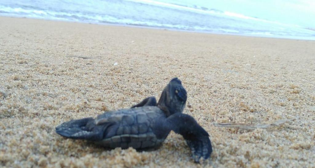 A hatchling hurries towards the sea at Gahirmatha.Odisha declared Gahirmatha a marine sanctuary in 1997. This was done to protect the endangered turtles under the Wildlife (Protection) Act, 1972 as a Scheduled I animal. The state government has also imposed a ban on fishing activities inside the sanctuary from November 1-May 31 to protect the turtles. Photo: Ashis Senapati