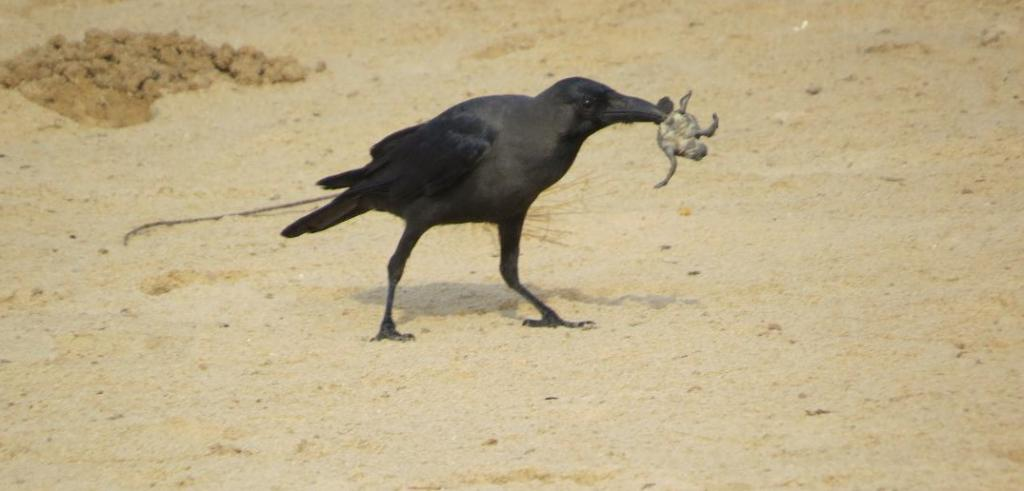 A crow devours a baby turtle on the beach. The babies emerge 40-45 days after eggs are laid, in the cool of the night and scurry down the beach to the sea. They face the prospect of being devoured by dogs, jackals and birds. Forest guards have been deployed to prevent this. The babies also face the blinding lights of the nearby Abdul Kalam Island, home to India's missile programme. The lights can disorient the babies and make them turn towards their nest. Defence personnel have masked the lights to prevent this. Photo: Ashis Senapati