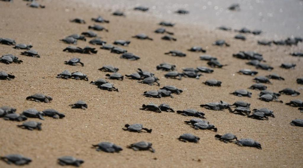 Olive Ridley turtle hatchlings move towards the sea after emerging from their nests April 25, 2021 at the Nasi-1 and Nasi-2 islands of the Gahirmatha marine sanctuary in Odisha. This is an annual sight at Gahirmatha, known as the world's largest rookery of the endangered Olive Ridley sea turtles. It is located within Bhitarkanika National Park of Kendrapara district. Photo: Ashis Senapati