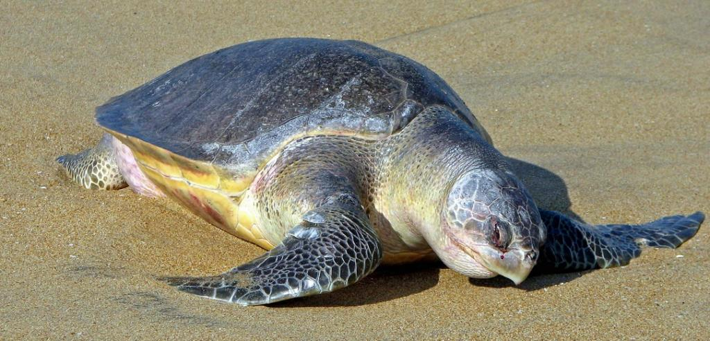 Olive Ridley Turtles Stay Away From Rushikulya Beach But Thousands Emerge In Gahirmatha