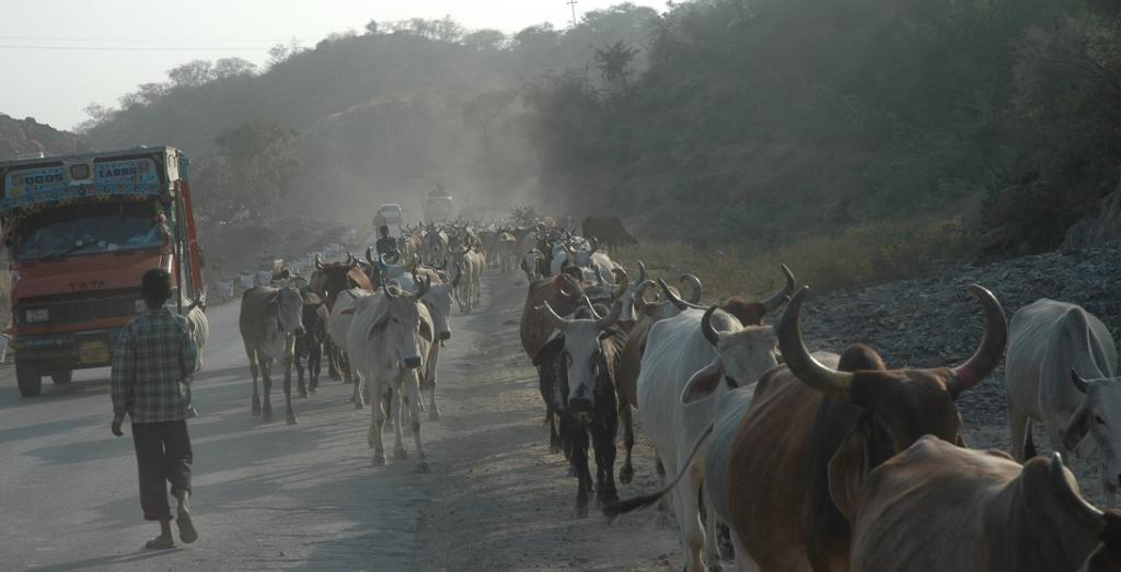 In the agricultural sector, livestock emissions from manure and enteric fermentation constitute for roughly 32 per cent of methane emission. Photo: Samrat Mukherjee / CSE