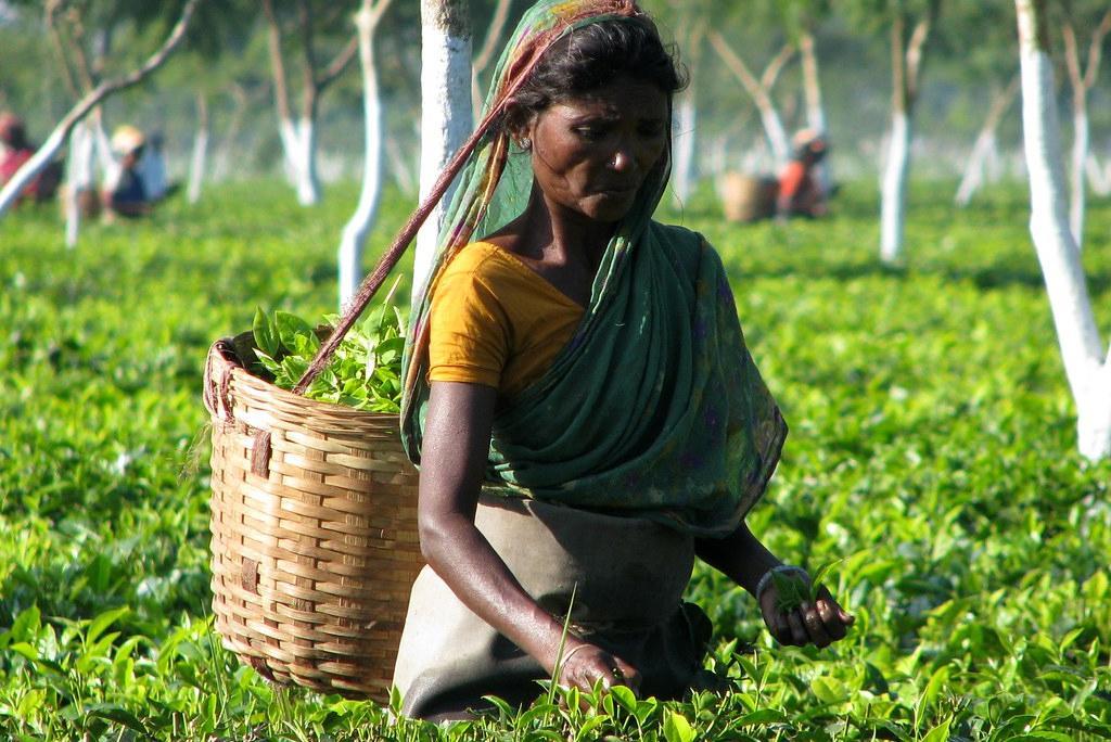 असम में चाय बागान में काम करती महिला, फोटो: लिंडा डी वोल्डर