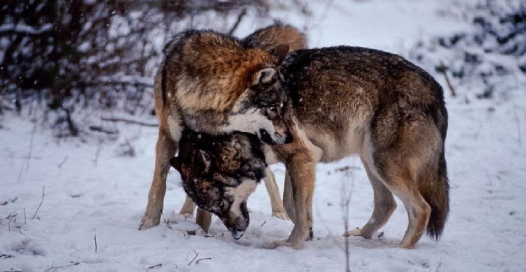 Wolves in Javorova valley, National Park High Tatras, Slovakia. Photo: Tomas Hulik