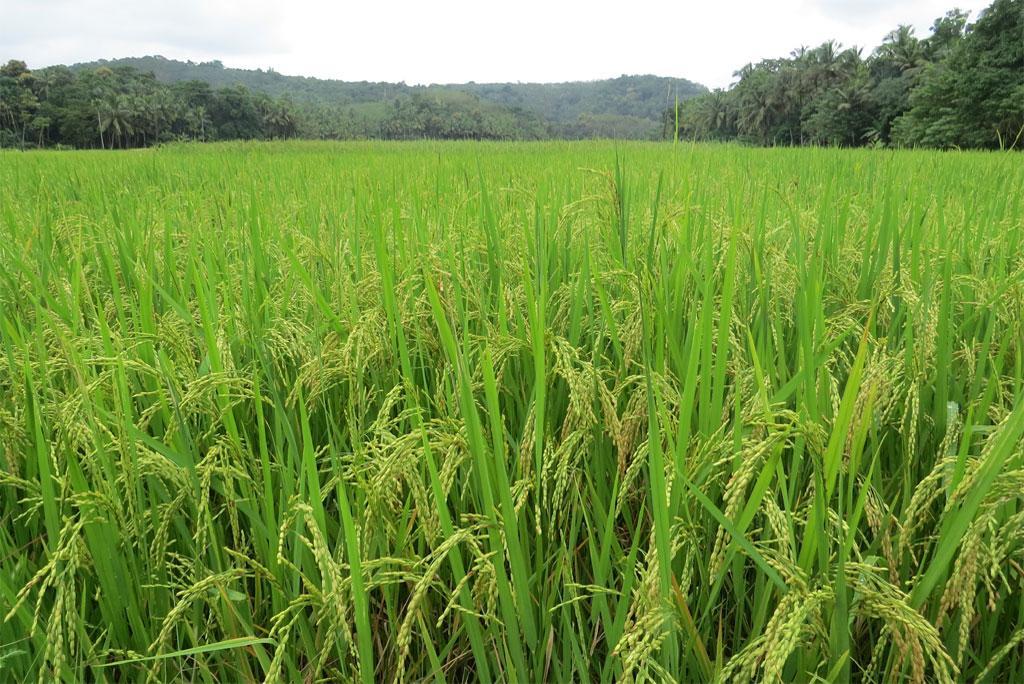 खाद्य सुरक्षा के लिए बदलते मौसम के अनुसार फसलों की नई किस्में जरूरी : अध्ययन