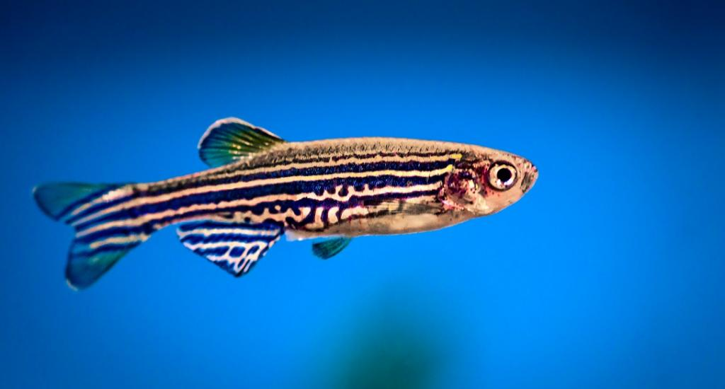 Zebrafish. Photo: istock