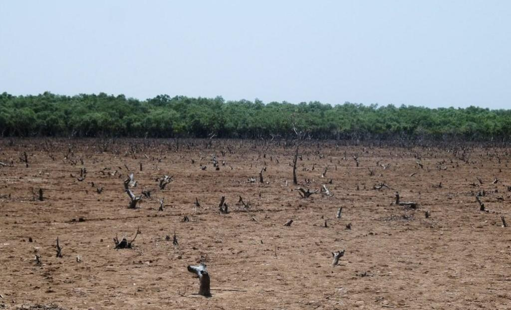 A denuded mangrove forest near Bhitarkanika National Park. Photo: Ashis Senapati