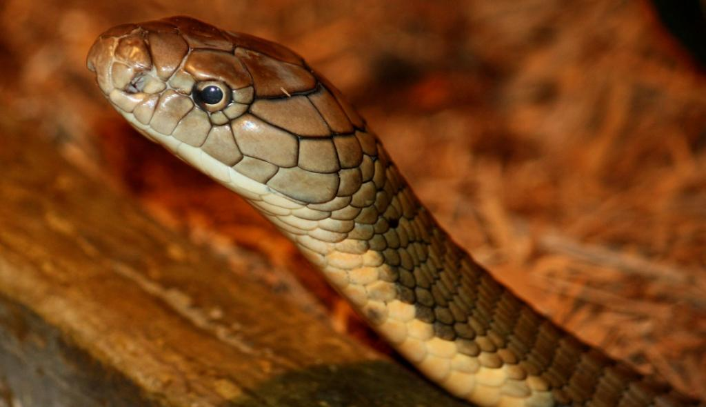Snakebite envenomation is also included among neglected tropical diseases. Photo: Ltshears via Wikimedia