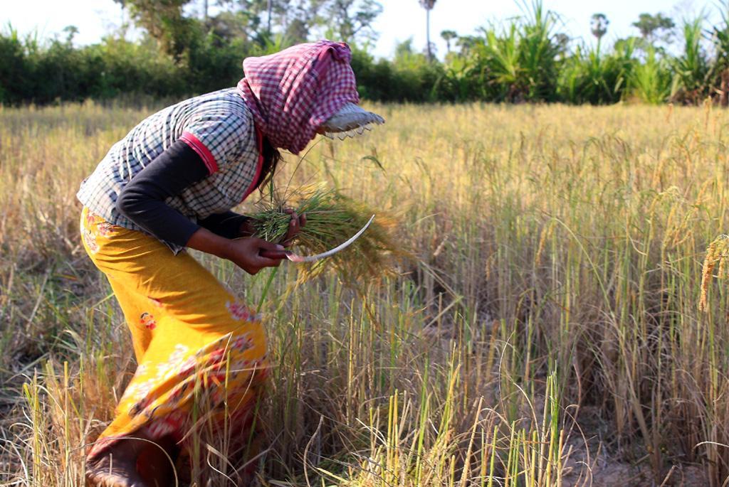 अनाज का अधिकतम लाभ इसके प्रसंस्करण करने वालों को होता है न कि किसानों को: अध्ययन