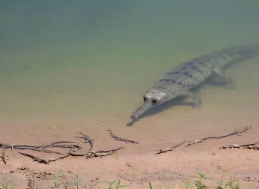 Odisha announced cash award for rescuing gharials. Photo: Hrusikesh Mohanty