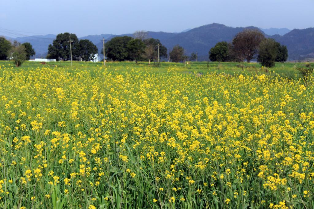 The FSSAI has banned blending of any kind of edible oil with mustard oil. Photo: Wikimedia Commons
