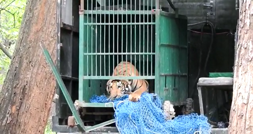 A Royal Bengal tiger, which had strayed from the Valmiki Tiger Reserve, was caught by a forest department team June 17, 2021. Photo: By Special Arrangement