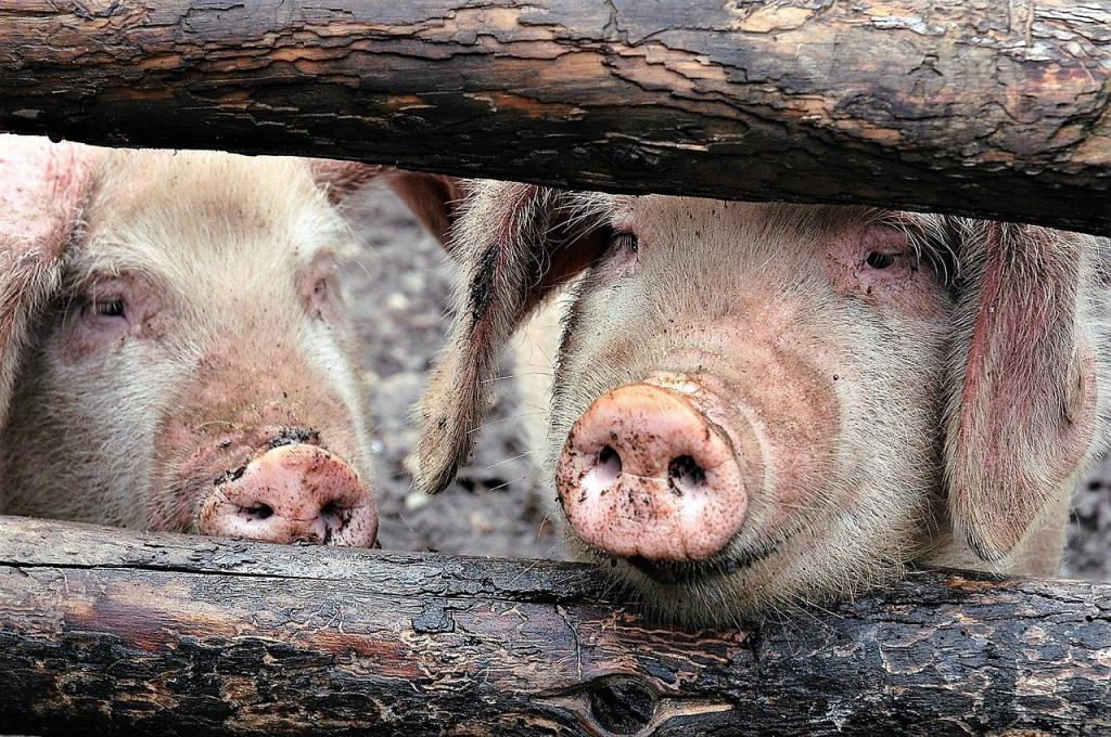 African swine fever under control in Manipur, says vet department. Photo: Chu-san/pixabay