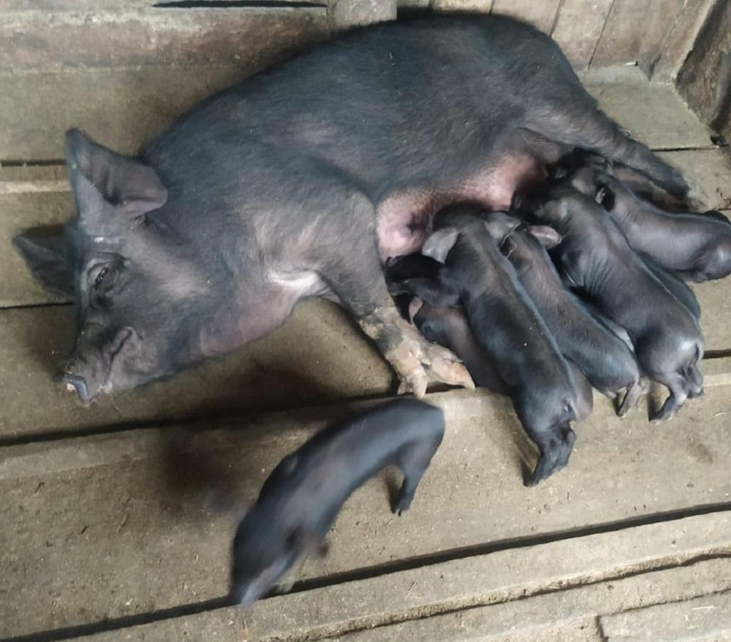 African swine fever in Nagaland
