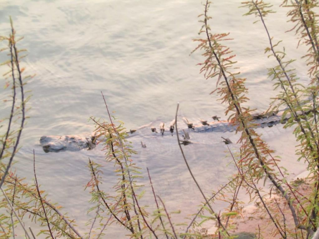 Disappearance of gharial hatchlings from Odisha stokes criticism. Photo: Hrusikesh Mohanty