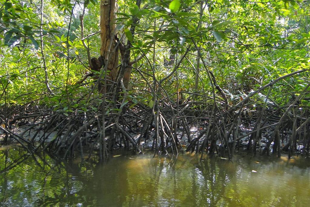 मैंग्रोव वन तटीय इलाकों में रहने वाले लोगों को तूफानों से बचाने में अहम भूमिका निभाते है: अध्ययन