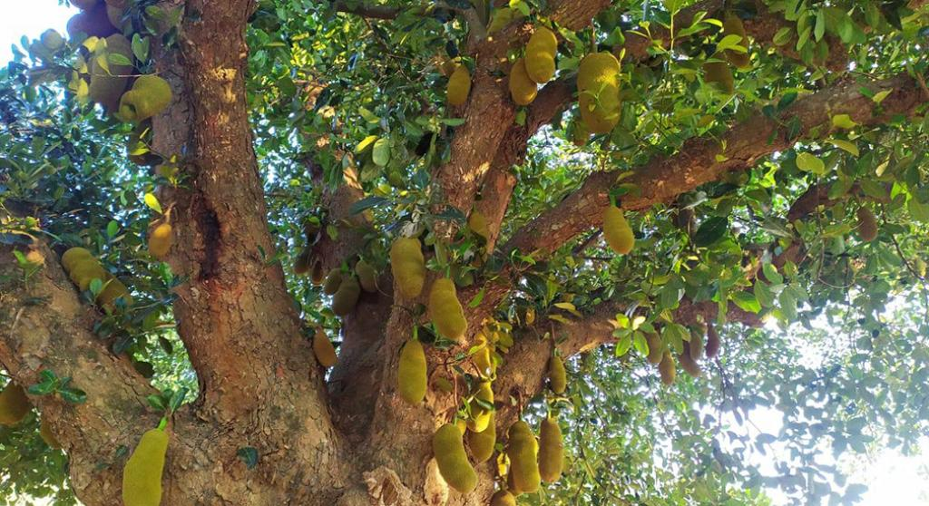 The Odisha Rural Development and Marketing Society (ORMAS), with the support of Good Samaritan India, a non-profit, started the project in 2019 to provide income to tribal women of nine blocks of the district by providing training to prepare and sell jackfruit chips. Photo: Ashis Senapati