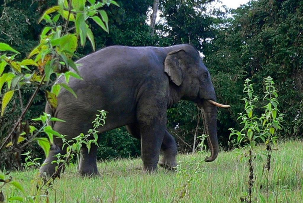 एशियाई नर हाथी अधिकतर समय अकेले रहना पसंद करते है: अध्ययन