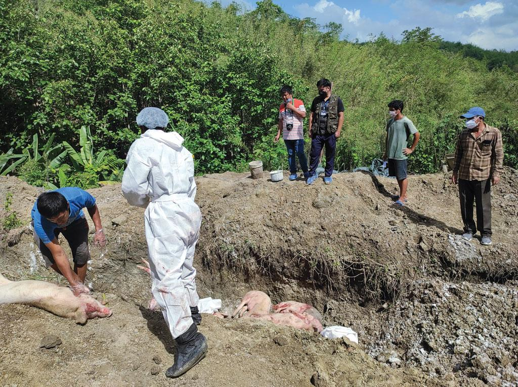 A worker at Thanliana's farm buries culled pigs in a trench treated with lime. Thanliana owns one of Mizoram's largest commercial piggeries, The farm has lost over 300 pigs to African swine fever this year