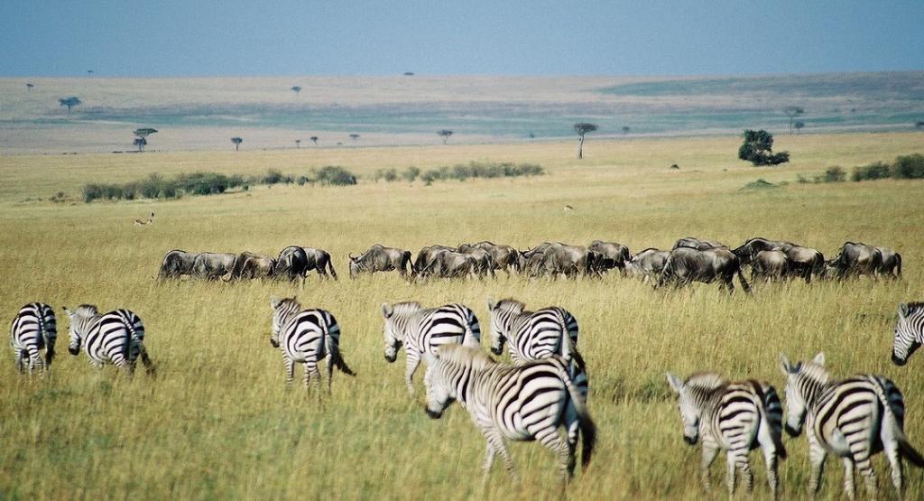 Zebra and Wildebeest in Masai Mara, Kenya. Photo: Wikimedia