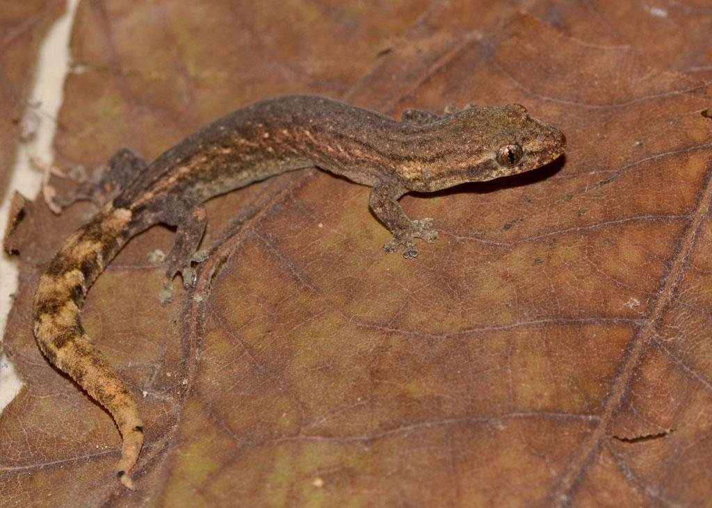 Ganjam Slender Gecko