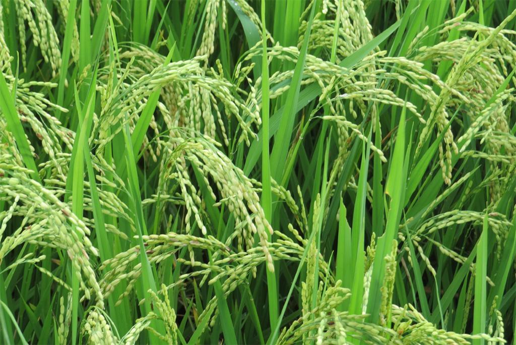 आरएनए में बदलाव कर फसलों की उपज में हो सकती है 50 फीसदी अधिक वृद्धि: अध्ययन