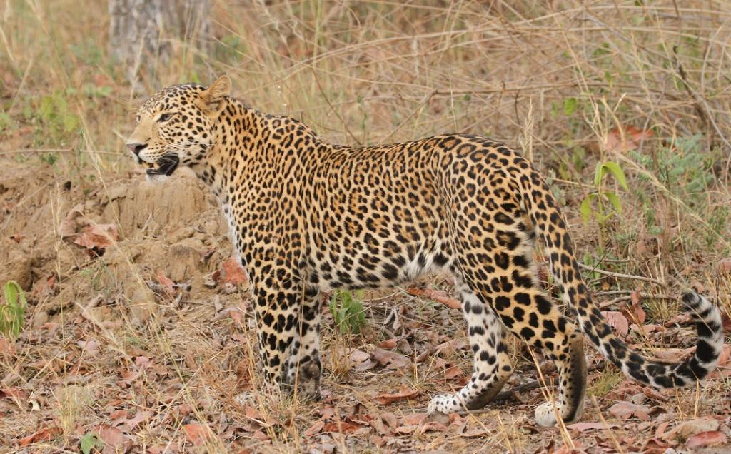 A leopard in Satpura National Park. Photo: Wikimedia