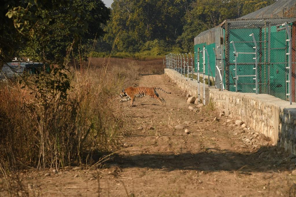 बाड़े से रिहा किया जा रहा बाघ। फोटो: सिद्धांत उमरिया_WWF India
