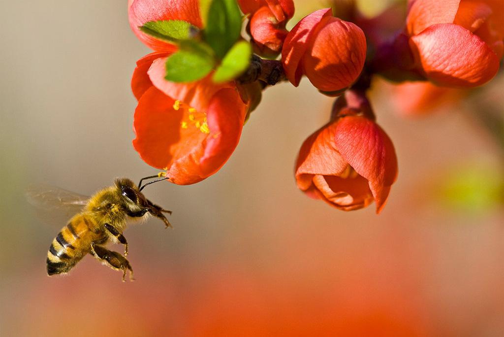 कीटनाशक मधुमक्खियों के विनाश का कारण बन रहे हैं: अध्ययन