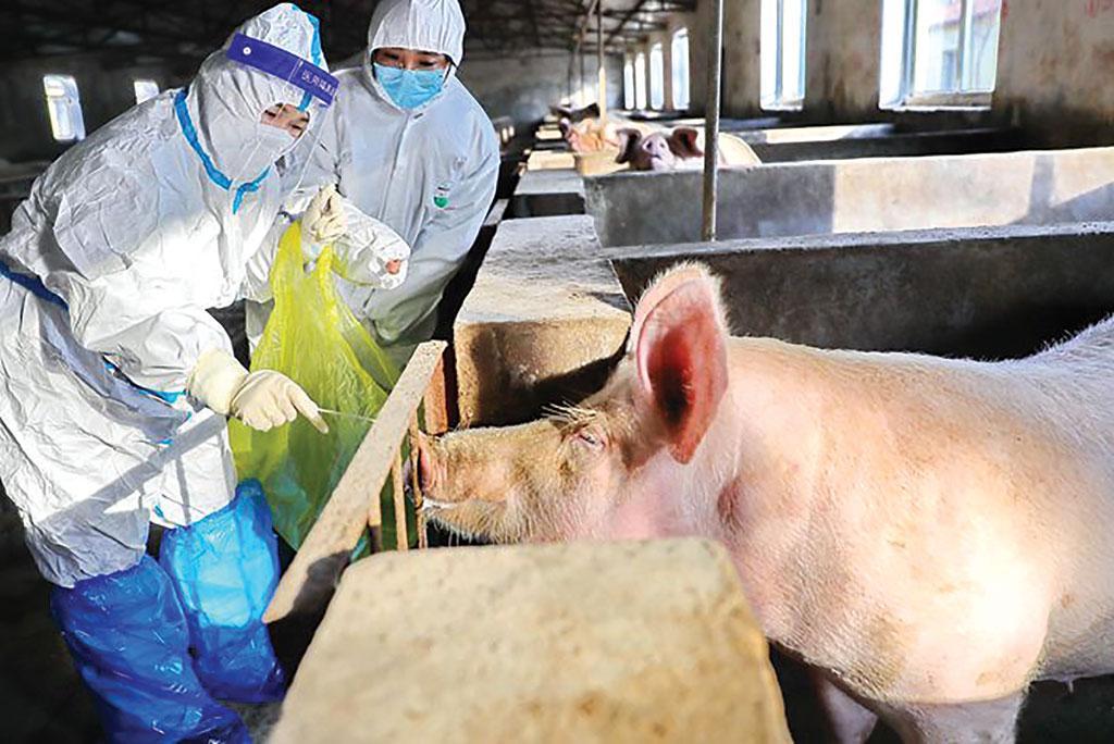 अफ्रीका स्वाइन फ्लू के कारण दुनियाभर मंे सूअर के मीट उत्पादन में 25 प्रतिशत गिरावट दर्ज की गई है
