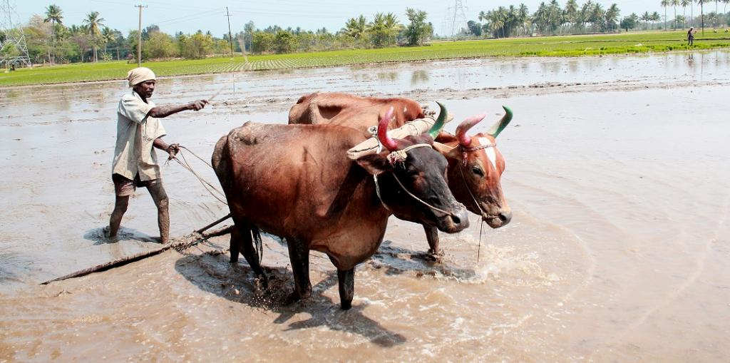 A farmer ploughing his flooded rice field. Photo: Wikipedia