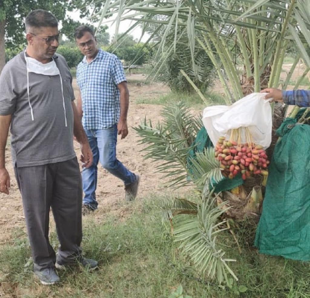 Dates on a palm tree at the Dr J C Bakhshi Regional Research Station in Abohar. Photo: Aditya Batra / CSE