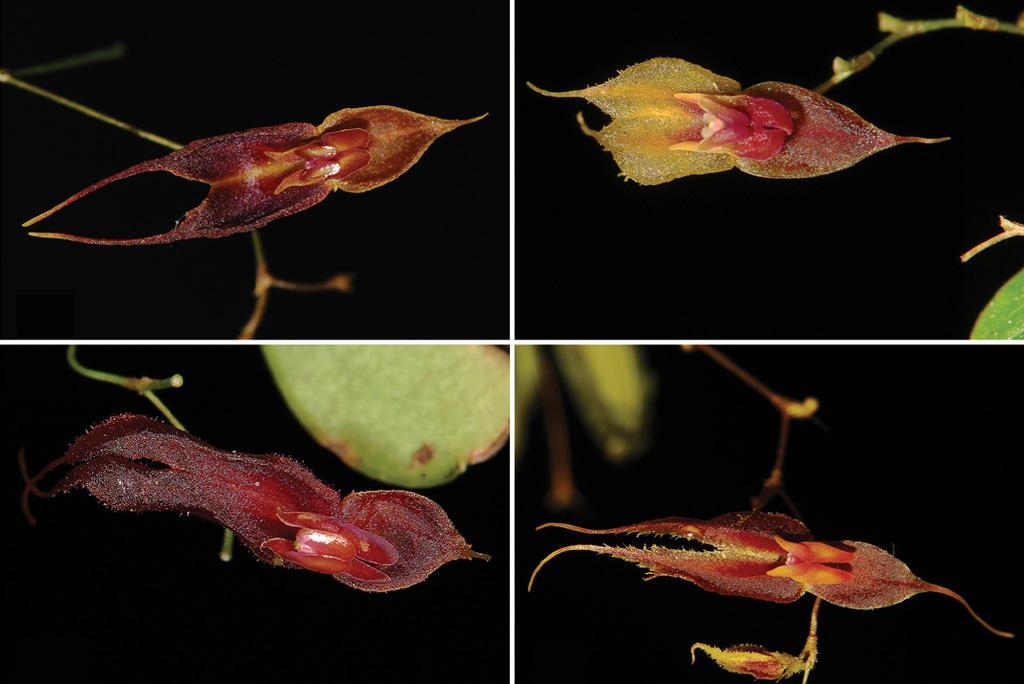 आर्किड की नई और दुर्लभ प्रजातियों की हुई खोज