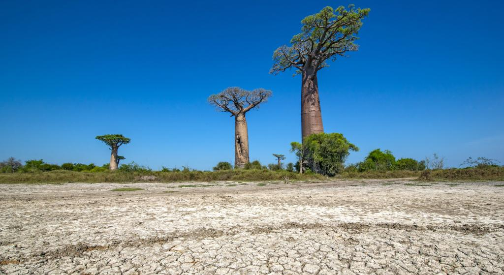 At Avenue de Baobab, Western Madagascar. Madagascar is currently facing its worst drought in 40 years, caused by years of failed rains and exacerbated by a series of sandstorms and locust attacks. Photo: iStock