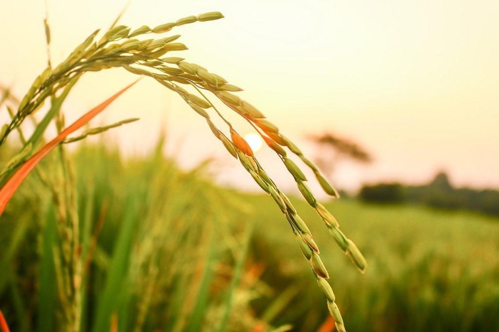2021-22 के दौरान चावल का कुल उत्पादन 107.04 मिलियन टन अनुमानित है। Photo: pixabay