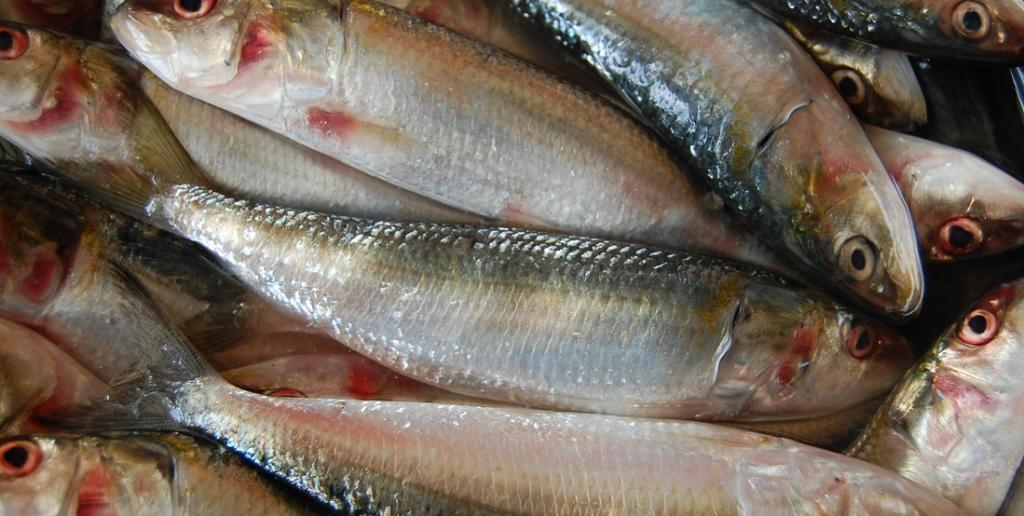Greenhouse gas emissions for capture fisheries such as sardines and cod are low, according to a new study