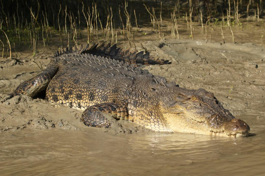How Australia's saltwater crocodiles are being scapegoated. Photo: CrocBITE